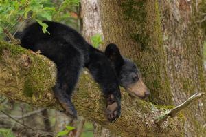 sleepy-bear-cub-charlie-choc